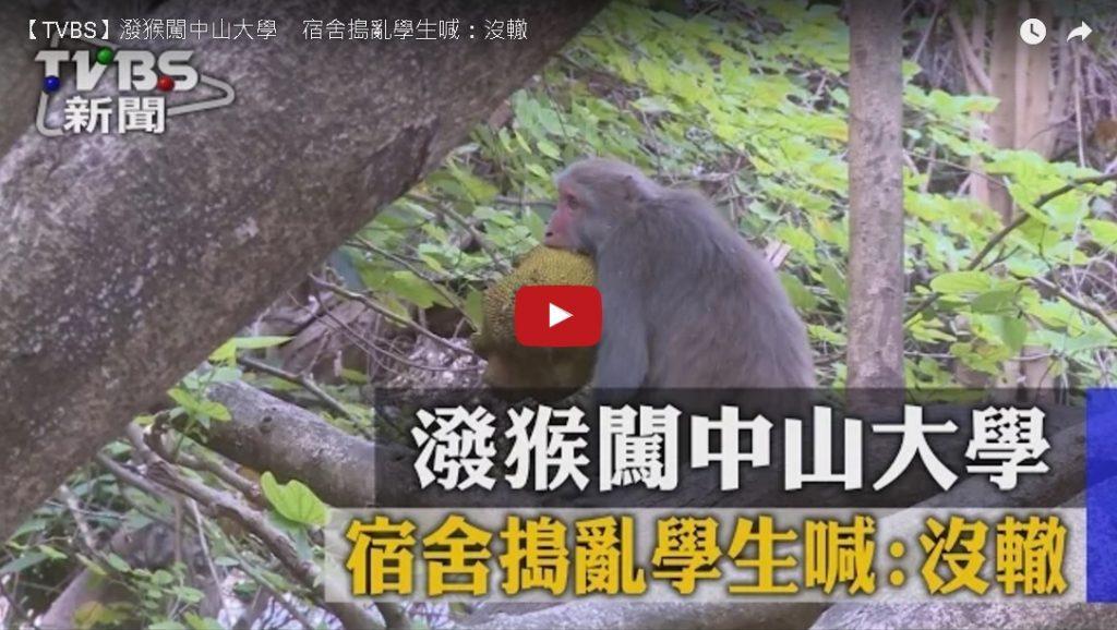潑猴闖中山大學宿舍搗亂 學生喊:沒轍(TVBS)
