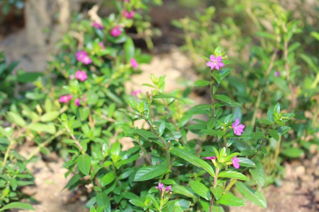 紫紅色細葉雪茄花